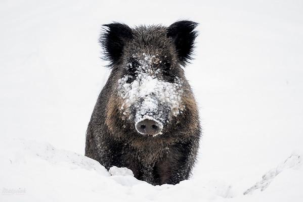 Skonfundowany dzik (Sus scrofa), któremu przerwałem rycie pod grubą warstwą śniegu Bieszczady ©Mateusz Matysiak