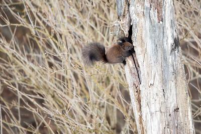 Wiewiórka pospolita (Sciurus vulgaris), odmiana brunatnoczarna, przy zimowej spiżarni Bieszczady ©Mateusz Matysiak