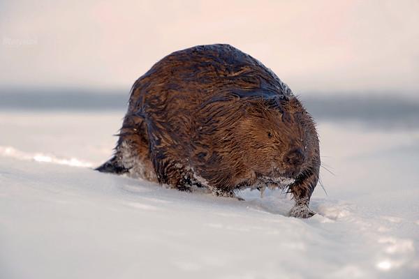 Bóbr łososiową porą podążający