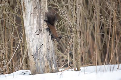 Wiewiórka pospolita (Sciurus vulgaris), odmiana brunatnoczarna Bieszczady ©Mateusz Matysiak