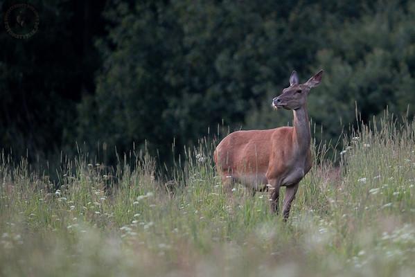 Samica jelenia szlachetnego (Cervus elaphus) ©Mateusz Matysiak