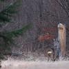 Rogacz przy lizawce