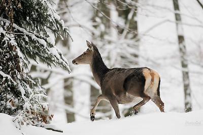 Łania jelenia szlachetnego (Cervus elaphus) Bieszczady ©Mateusz Matysiak