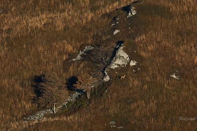 Jeleń szlachetny (Cervus elaphus) Łanie pasące się przy wychodniach skalnych ©Mateusz Matysiak