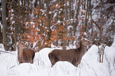 Łania jelenia szlachetnego (Cervus elaphus) z cielakiem na zimowym, ostrężynowym żerowisku Bieszczady ©Mateusz Matysiak