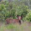 Czerwcowy byczek