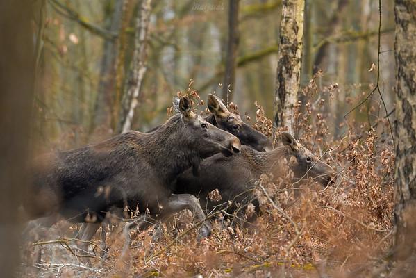Łosie (Alces alces) Rodzina - klępa (samica), byk (samiec) i łoszak (młody) Lasy Skulskie, gm. Żabia Wola ©Mateusz Matysiak