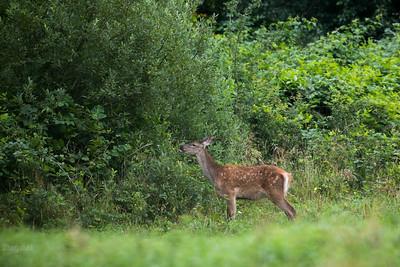 Cielak jelenia szlachetnego (Cervus elaphus) żerujący na skraju lasu Bieszczady ©Mateusz Matysiak