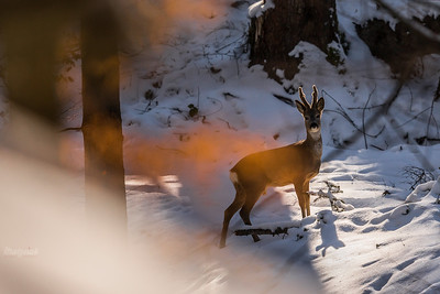 Koziołek zimowy rdzą bukową podpalany