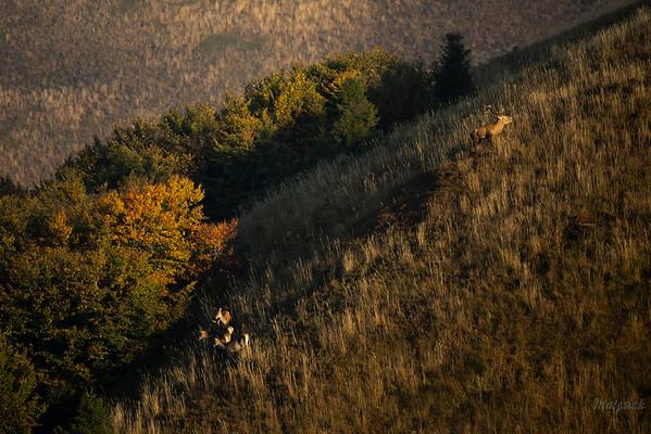 Jeleń szlachetny (Cervus elaphus) Chmara stadnego byka na połoninie Bieszczady ©Mateusz Matysiak
