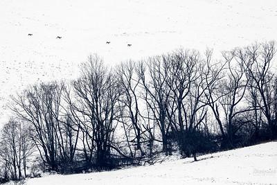 Mały rudel saren (capreolus capreolus) podczas przemierzania zimowej łąki Bieszczady ©Mateusz Matysiak