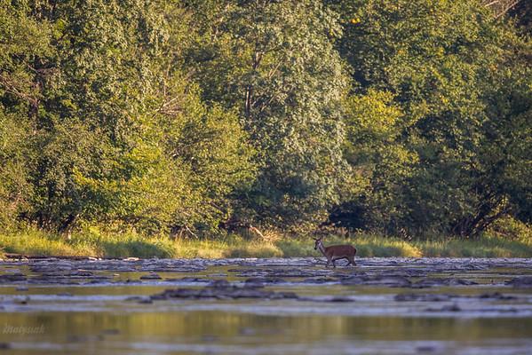 Jeleń szlachetny (Cervus elaphus) Łania podczas przeprawy przez rzekę San, Bieszczady ©Mateusz Matysiak