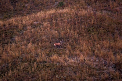 Jeleń szlachetny (Cervus elaphus) Byk podczas rykowiska Bieszczady ©Mateusz Matysiak