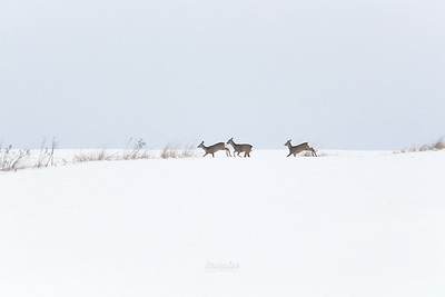 Sarny (Capreolus capreolus) zimą ©Mateusz Matysiak