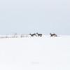 Sarny (Capreolus capreolus) zimą<br /> ©Mateusz Matysiak