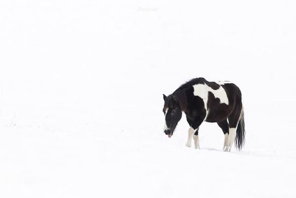 Koń huculski na zimowym pastwisku dolina Sanu, Bieszczady ©Mateusz Matysiak