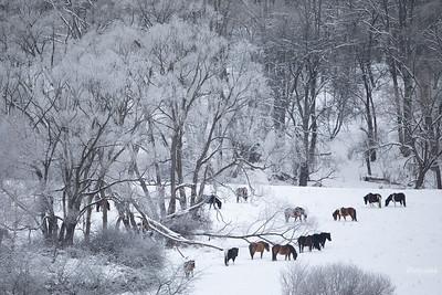 Tabun koni huculskich na zimowym pastwisku dolina Sanu, Bieszczady ©Mateusz Matysiak