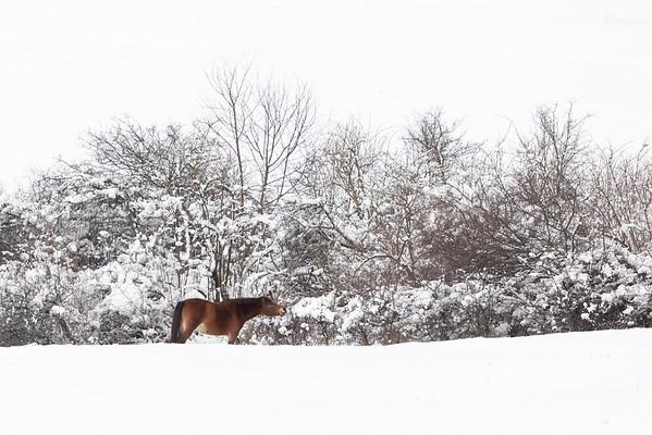 Koń huculski zjadający owoce śliwy tarniny dolina Sanu, Bieszczady ©Mateusz Matysiak