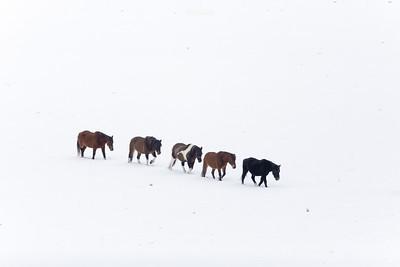 Tabun koni huculskich podczas zimowej wędrówki w poszukiwaniu pastwiska dolina Sanu, Bieszczady ©Mateusz Matysiak