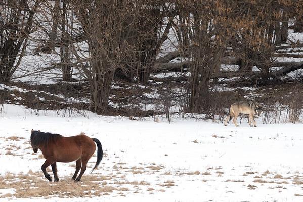 Podchody wilków (Canis lupus) do koni huculskich Bieszczady ©Mateusz Matysiak
