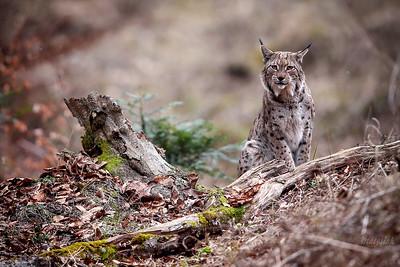 Ryś euroazjatycki (Lynx lynx) Bieszczady ©Mateusz Matysiak