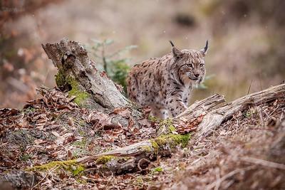 Ryś (Lynx lynx) Bieszczady ©Mateusz Matysiak