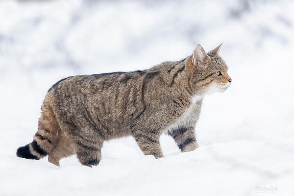 Żbik (Felis silvestris) Kotka w zimowym lesie Dolina Sanu, Bieszczady ©Mateusz Matysiak