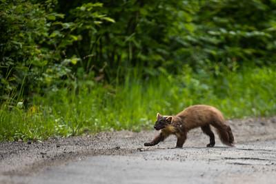 Kuna leśna (Martes martes) poszukująca potrąconych drobnych zwierząt przy drodze Bieszczady ©Mateusz Matysiak