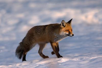 Lisy / Foxes