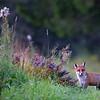 Goryczkowy lis