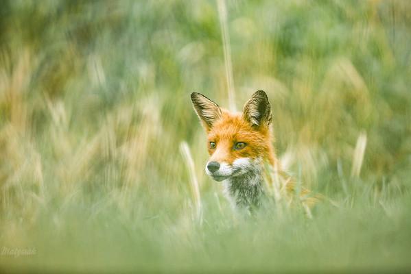 Lis (Vulpes vulpes) czatujący na letniej łące ©Mateusz Matysiak