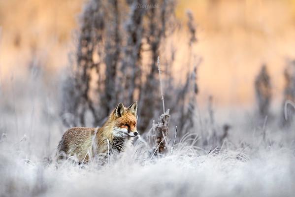 Lis (Vulpes vulpes) ©Mateusz Matysiak