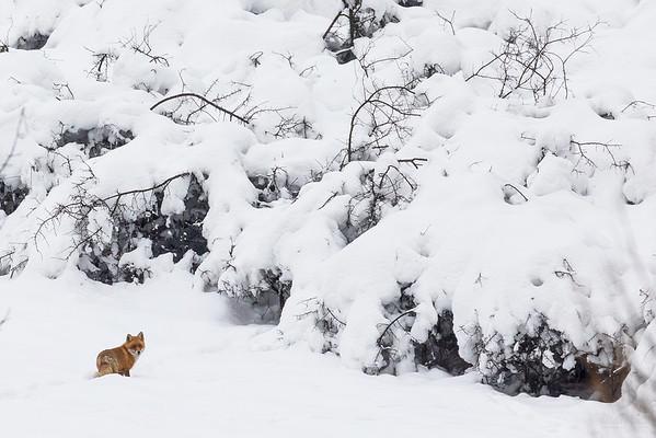 Lis (Vulpes vulpes) Bieszczady ©Mateusz Matysiak