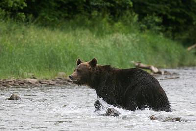 Niedźwiedź brunatny (Ursus arctos) przeprawiający się przez rzekę Bieszczady ©Mateusz Matysiak