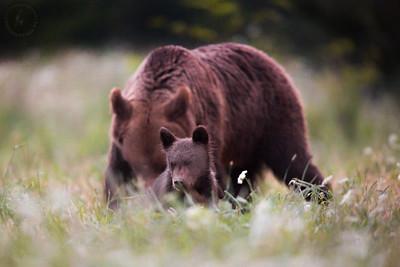 Kilkumiesięczny młody niedźwiedź brunatny (Ursus arctos) z matką w tle Bieszczady ©Mateusz Matysiak