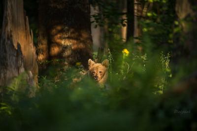 Poranek w misiowym lesie