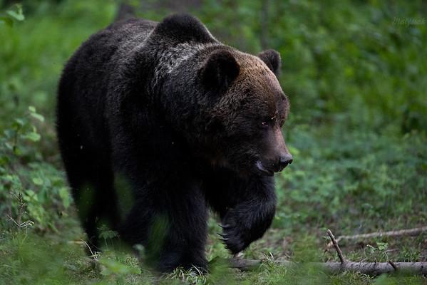 Dorosły samiec niedźwiedzia brunatnego (Ursus arctos) Bieszczady ©Mateusz Matysiak