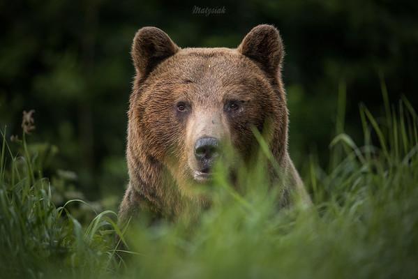 Ursa confusa