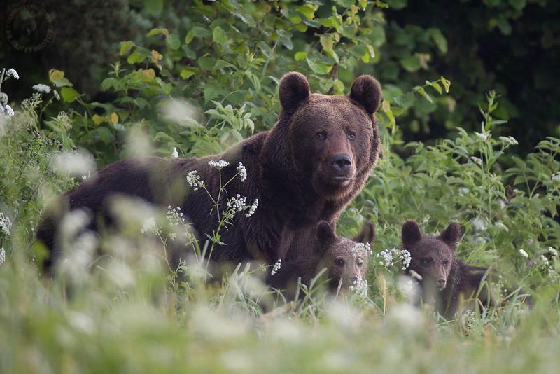 Samica niedźwiedzia brunatnego (Ursus arctos) z młodymi<br /> Bieszczady<br /> ©Mateusz Matysiak