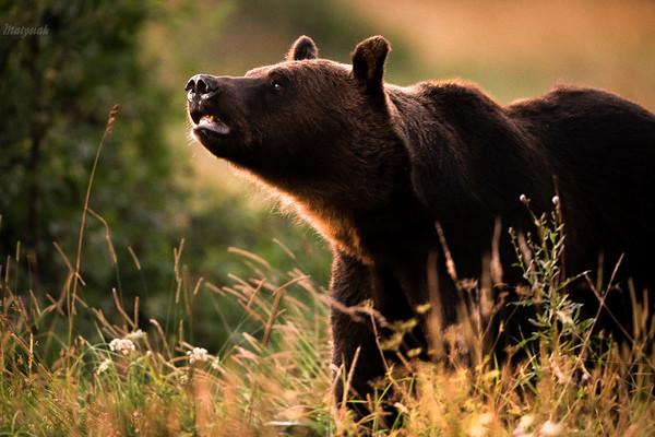 Węszący samiec niedźwiedzia brunatnego (Ursus arctos) w poszukiwaniu żerowiska Bieszczady ©Mateusz Matysiak