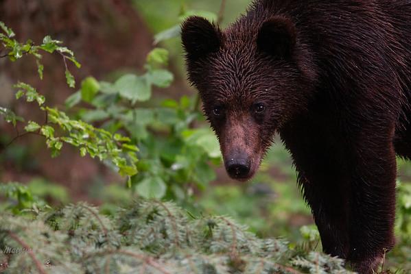 Młody, drugoroczny samiec niedźwiedzia brunatnego (Ursus arctos) po deszczu Bieszczady ©Mateusz Matysiak