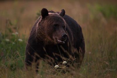 Niedźwiedź brunatny (Ursus arctos) Bieszczady, sierpień 2017 ©Mateusz Matysiak
