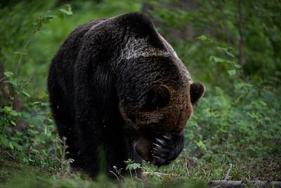 Dorosły samiec niedźwiedzia brunatnego (Ursus arctos) zasłania pysk przed natrętnymi muchami Bieszczady ©Mateusz Matysiak