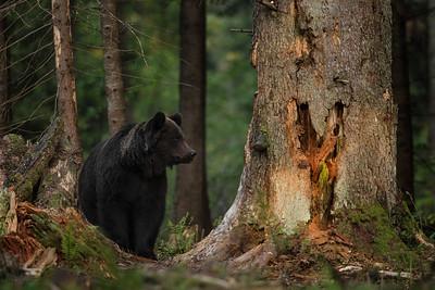 Niedźwiedź brunatny (Ursus arctos) Bieszczady ©Mateusz Matysiak