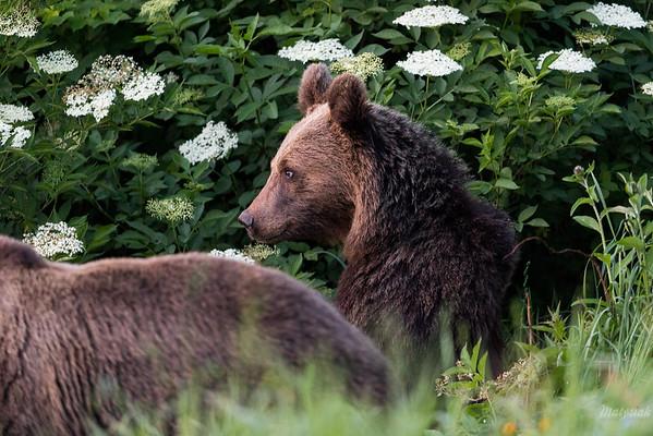 Drugoroczny osobnik niedźwiedzia brunatnego (Ursus arctos) przy matce  Bieszczady ©Mateusz Matysiak