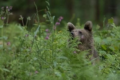 Drugoroczny niedźwiedź brunatny (Ursus arctos) Bieszczady ©Mateusz Matysiak