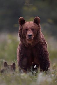 """Niedźwiedź brunatny (Ursus arctos) Niedźwiedzica """"Blizna"""" spod Zatwarnicy; Bieszczady ©Mateusz Matysiak"""