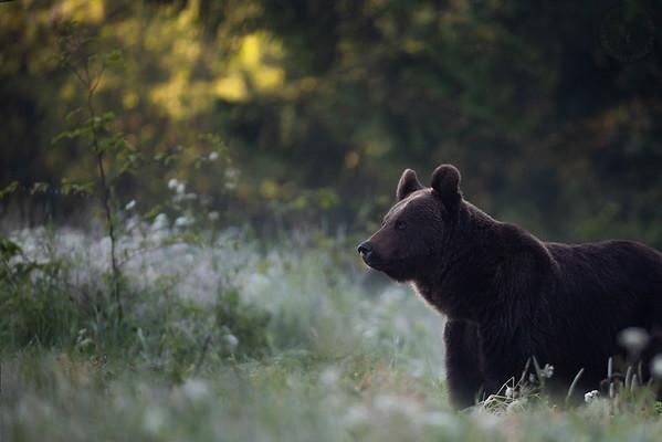 Samica niedźwiedzia brunatnego (Ursus arctos) Bieszczady ©Mateusz Matysiak