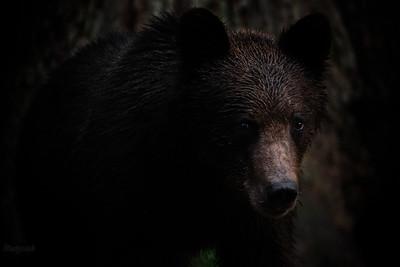 Młody, drugoroczny samiec niedźwiedzia brunatnego (Ursus arctos) w wieczornym lesie Bieszczady ©Mateusz Matysiak