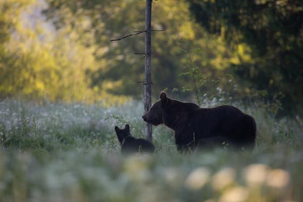 Samica niedźwiedzia brunatnego (Ursus arctos) z młodymi Bieszczady ©Mateusz Matysiak